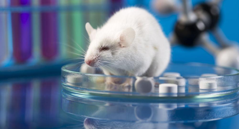 Laboratorní krysa