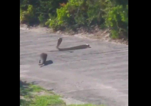 Rvačka mangusty a kobry byla natočena na video