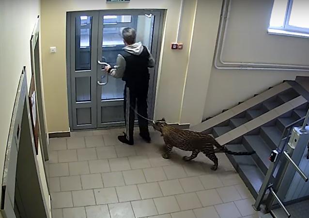 Obyvatel paneláku z Nižního Novgorodu prochází městem s leopardem