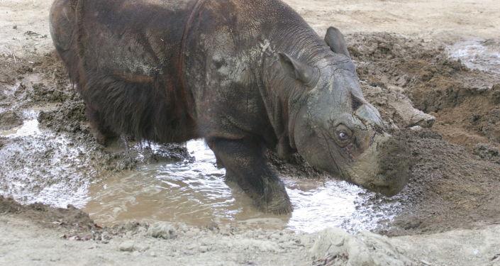 Nosorožec Ipuch