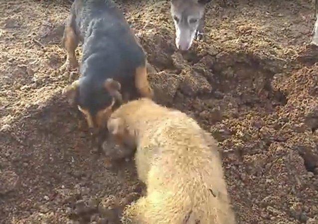 Nenechte se překvapit! Odborný lov krys za pomoci teriérů. Video