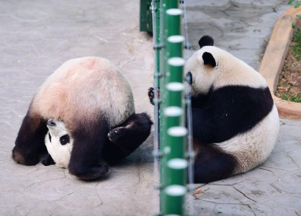 Pandy v zoo Šen-jang, Čína
