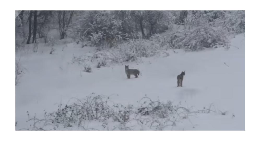 Rys a vlk