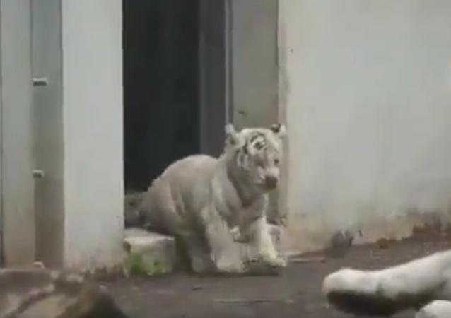 Tygře vylekalo dospělou šelmu