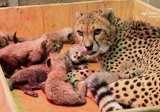 Matka hrdinka: samice geparda porodila osm dětí a stanovila rekord