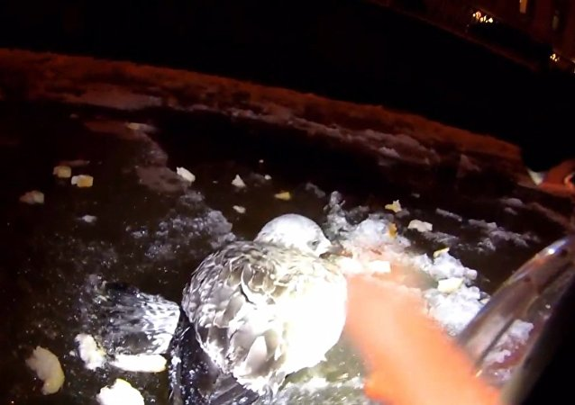 Záchranář skočil do ledové vody, aby vytáhl zamrzlého racka z Něvy