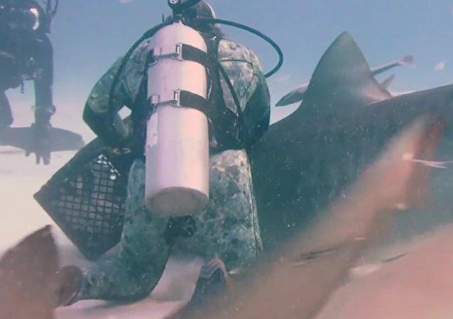 Potápěči krmili z ruky žraloka tygřího. Video