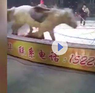 Útok lva a tygra na cirkusového koně se dostal na video
