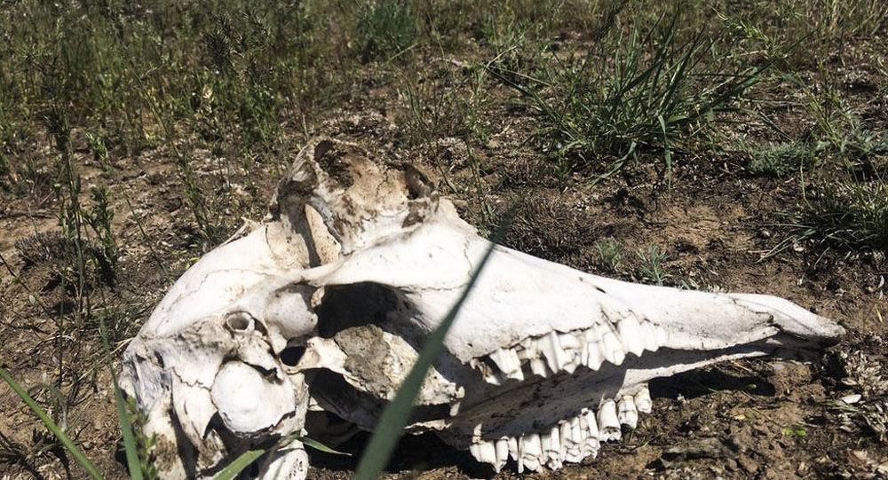 Masové úmrtí divokých antilop v Kazachstánu. Ilustrační foto