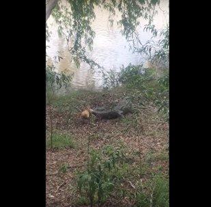 Srážka psa s krokodýlem