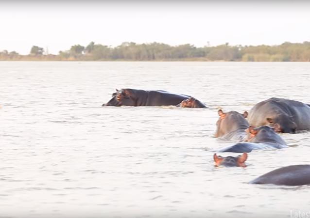Stádo hrochů zahnalo jednoho z nejagresívnějších žraloků