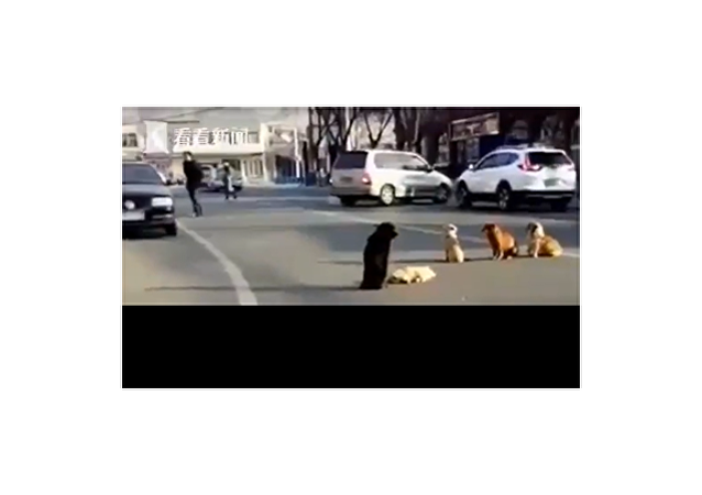 Čtyři toulaví psi chrání na silnici svého kamaráda, kterého srazilo auto