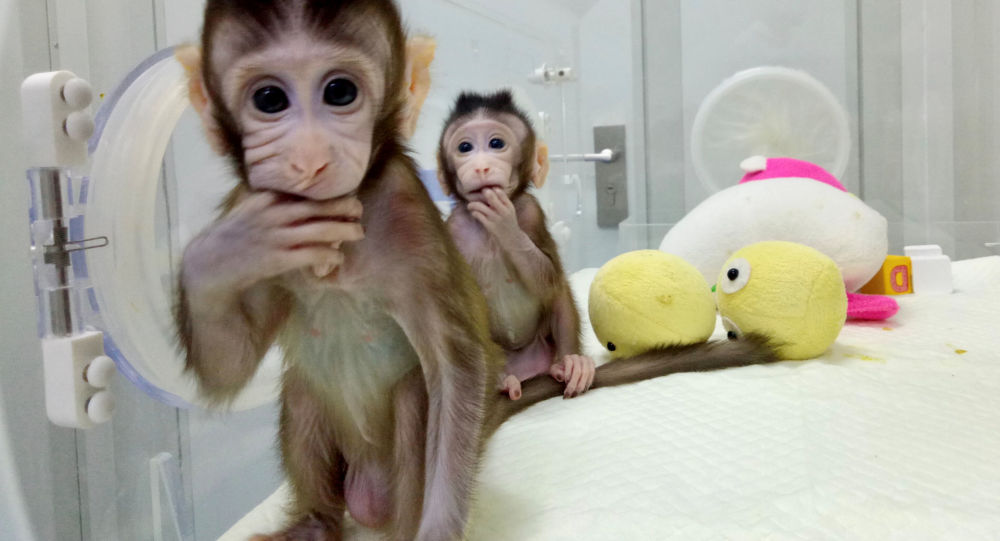 Klonované opice Zhong Zhong a Hua Hua v Číně