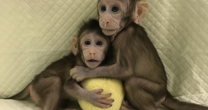 Klonované opice v Číně