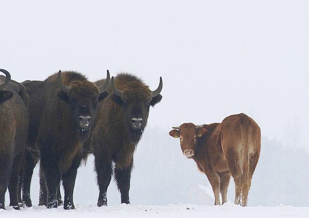 Kráva, kterou chtěli poslat na jatka, utekla k zubrům