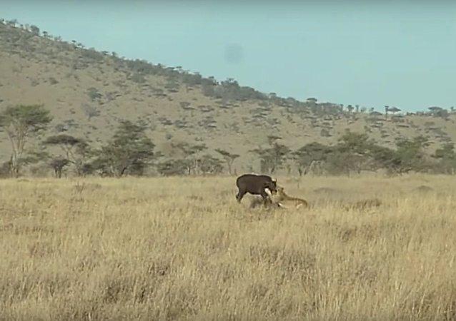 Útok lvů na buvoly natočili na video