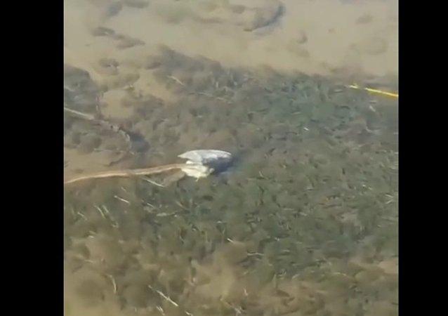 Had s rybí hlavou na vlastní byl natočen na video