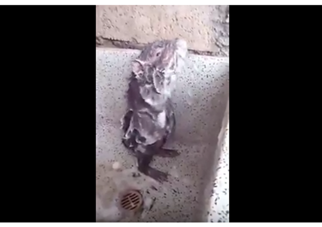 Krysa, která  se myje mýdlem