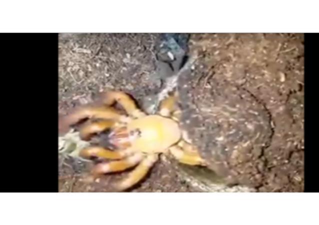 Lov pavouka záklopkáče děsí internet