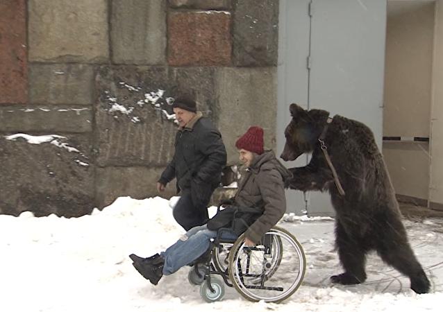 Cirkusový medvěd pomáhá s vyzvednutím svého drezéra z nemocnice