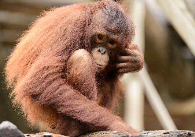 Mladý orangutan bornejský