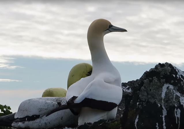 Na Novém Zélandu zemřel nejosamělejší pták. Pět let žil se svými betonovými kopiemi