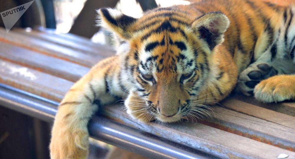 Mládě tygra
