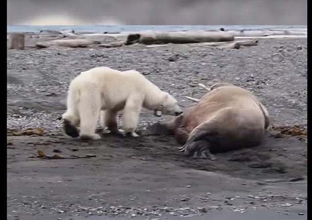 Ospalý mrož zahnal nesmělou lední medvědici s medvídkem