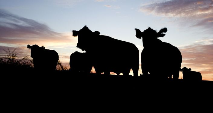 Krávy. Ilustrační foto