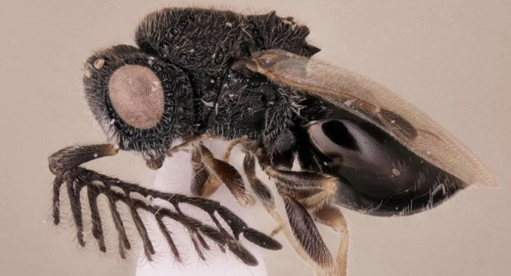 Byla nalezena vosa parazit, vyzbrojená pilou
