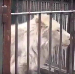 Lev v čínské zoo si hlady ukousl ocas