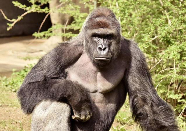 Gorila, ilustrační foto