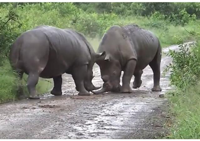 Epická bitva dvou nosorožců o území