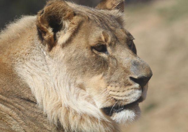 Львица с гривой в Oklahoma City Zoo
