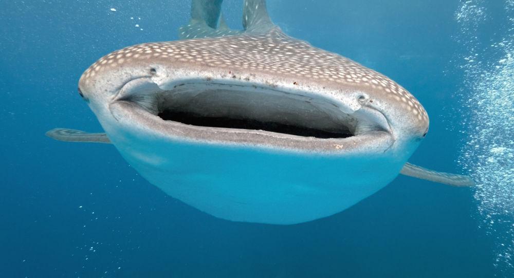 Žralok velrybí