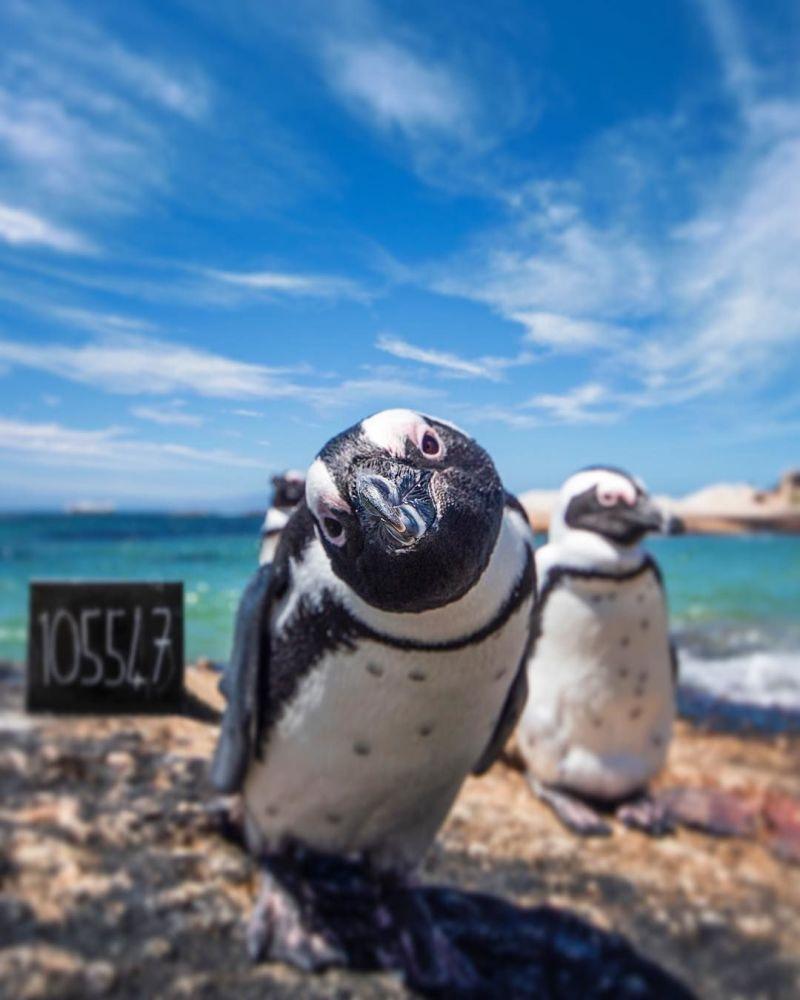 Fotografie tučňáků z Jihoafrické republiky