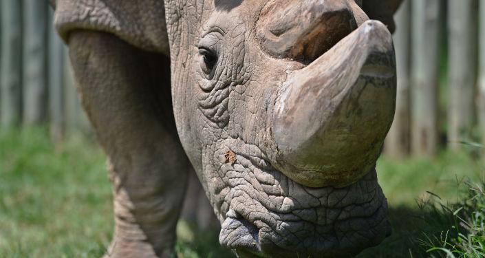 Poslední samec nosorožce severního bílého Sudán