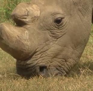 Poslední na světě samec severního bílého nosorožce