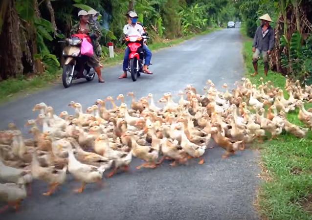 Kachní řeka přes silnici překáži řidičům ve Vietnamu