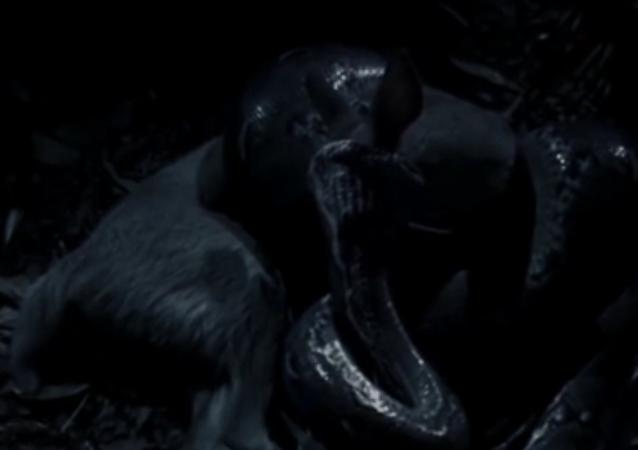 Nejdelší had na světě hladověl rok a sežral jelena (VIDEO)