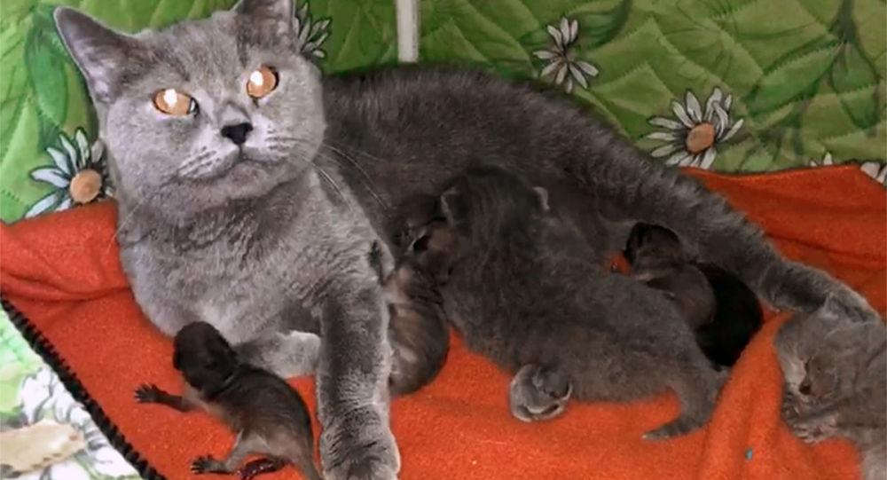 Ve Vladivostoku se kočka postarala o novorozené mývaly