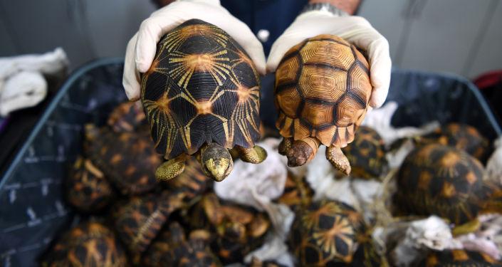 Celník v Malajsii ukazuje želvy paprsčité zabavené pašerákům
