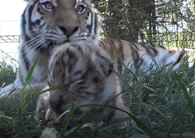 Tato amurská tygřice má bezmezně ráda svá mláďata. Přesvědčte se sami!