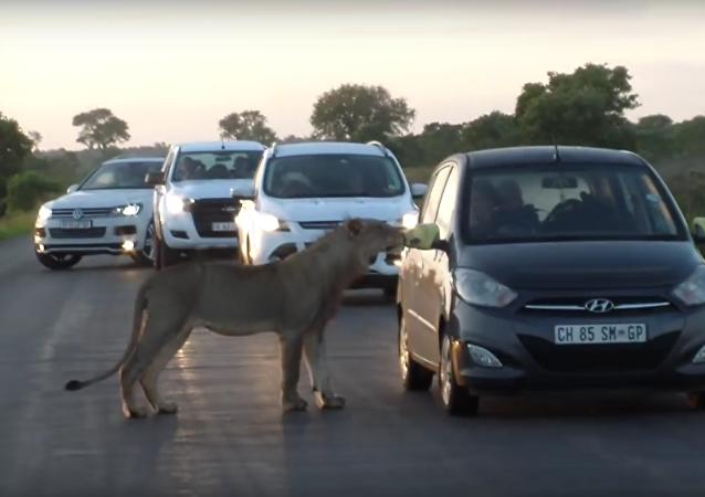 V Jihoafrické republice lvice vyděsila turisty tím, že se rozhodla otevřít dveře jejich auta