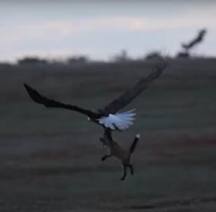 Boj orla a lišky o kořist byl natočen na VIDEO