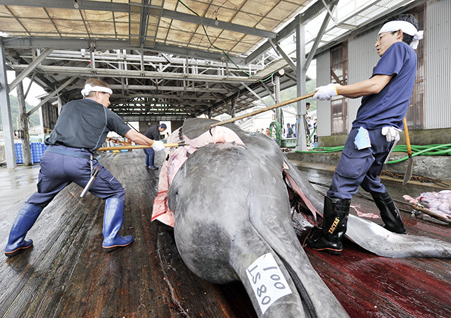 Fishermen slaughter a 10m-long bottlenose whale at the Wada port in Minami-Boso city, Chiba prefecture, east of Tokyo
