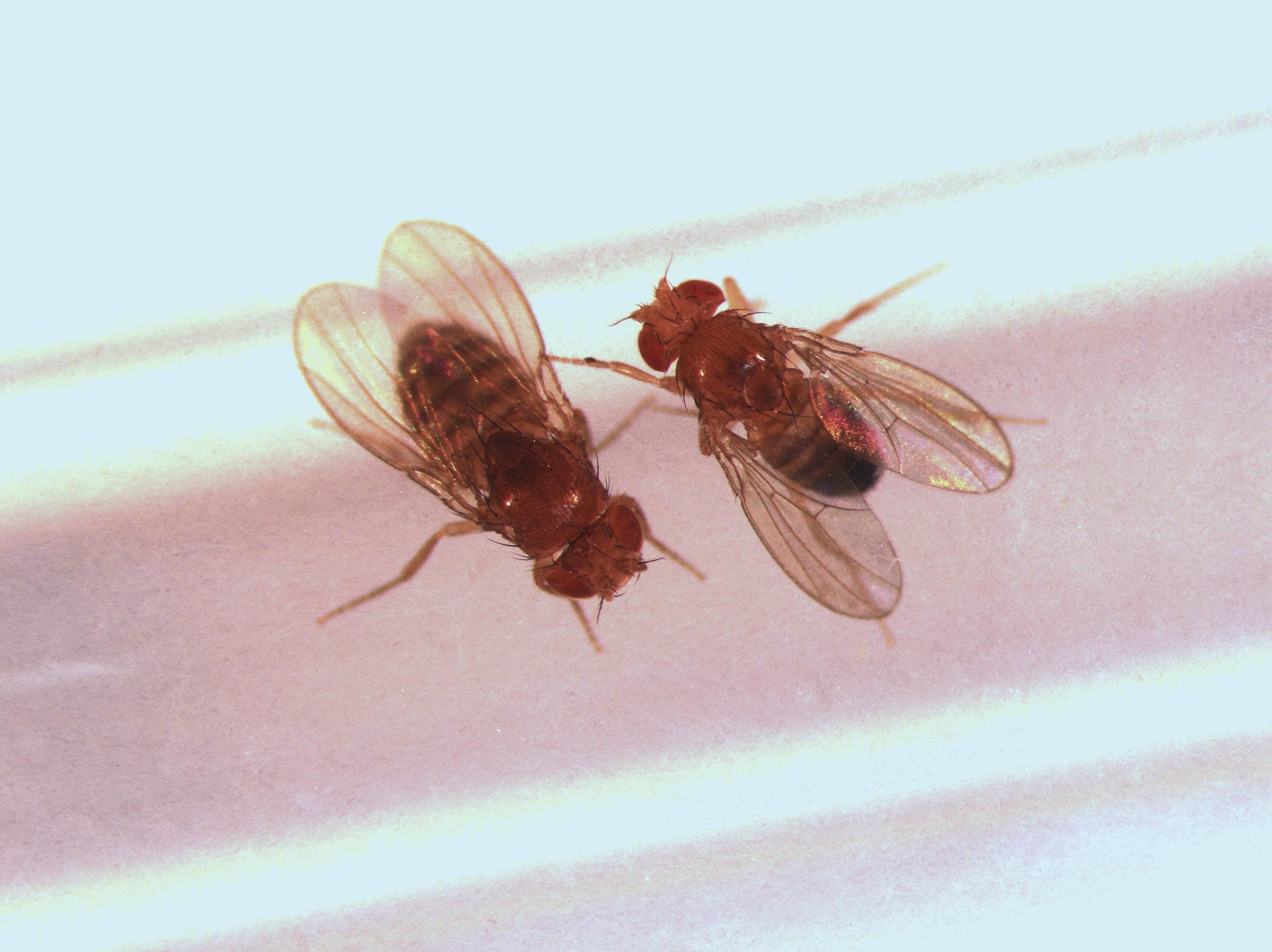 Droboučké octomilky (Drosophila pseudoobscura)