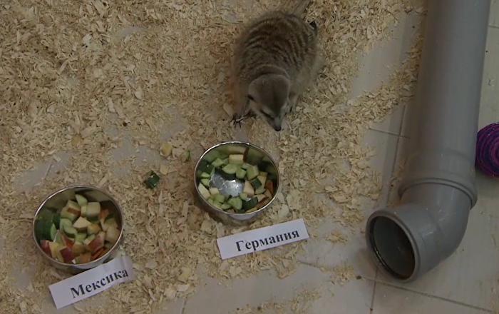 Ruská surikata předpověděla vítězství Německu