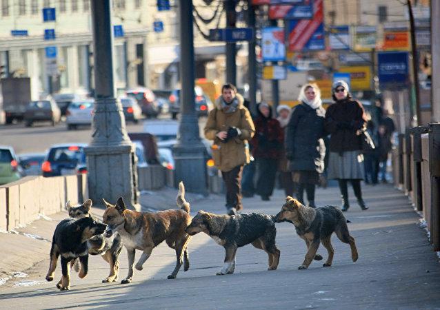 Toulavé psy v Moskvě