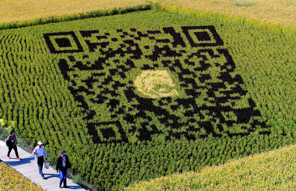 QR kód na rýžových polích v Číně